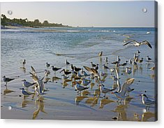 Terns And Seagulls On The Beach In Naples, Fl Acrylic Print