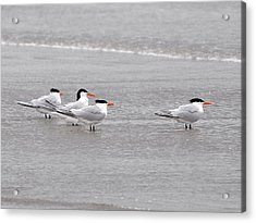 Terns Wading Acrylic Print by Al Powell Photography USA
