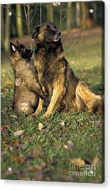 Tervuren Or Belgian Shepherd Dog Acrylic Print by Gerard Lacz