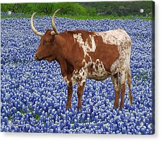 Da227 Tex And The Bluebonnets Daniel Adams Acrylic Print