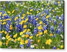 Texas Blue Bonnet  Acrylic Print