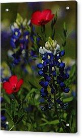 Texas Blue Bonnett Acrylic Print by Lori Mellen-Pagliaro
