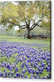 Texas Bluebonnets And Rust Acrylic Print
