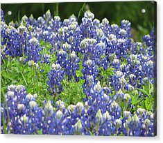 Texas Bluebonnets Austin Texas Acrylic Print by Shawn Hughes