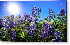Texas Bluebonnets Backlit II Acrylic Print by Greg Reed