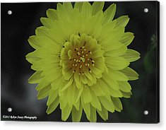 Acrylic Print featuring the photograph Texas Dandelion by Robyn Stacey