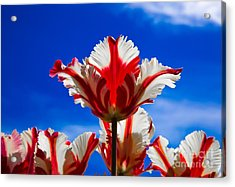 Texas Flame Parrot Tulip Acrylic Print