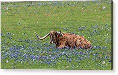Texas Longhorn And Bluebonnets Acrylic Print