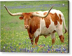 Texas Longhorn Standing In Bluebonnets Acrylic Print by Jon Holiday