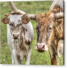 Longhorn Mother And Son Acrylic Print