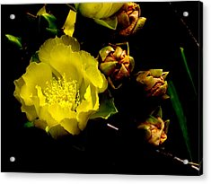 Texas Rose Vi Acrylic Print by James Granberry