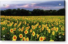 Texas Sunflowers Acrylic Print