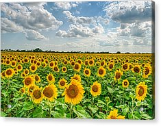 Texas Sunflowers  Acrylic Print by Tod and Cynthia Grubbs