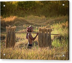 Thai Farmer Carrying The Rice On Shoulder After Harvest. Acrylic Print by Tosporn Preede