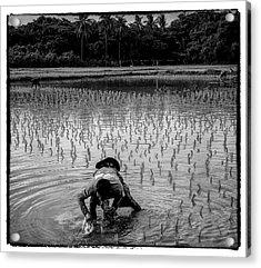 Thailand Rice Planting Acrylic Print by David Longstreath