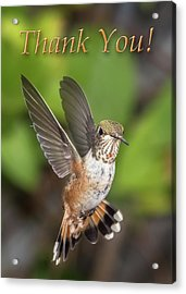 Thank You - Female Rufous Hummingbird  Acrylic Print