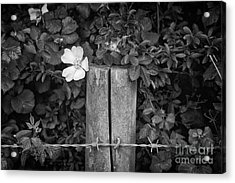 The Allotment Project - Dog Rose Acrylic Print