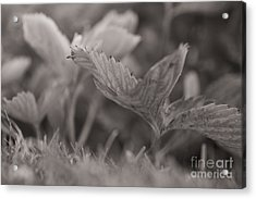The Allotment Project - Strawberry Plant Acrylic Print