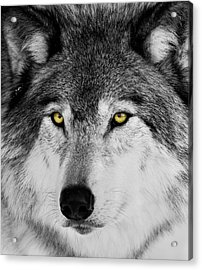Acrylic Print featuring the photograph The Alpha Portrait by Mircea Costina Photography