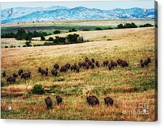 The American Bison Herd Acrylic Print by Tamyra Ayles