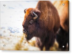 The American Bison Acrylic Print by Karol Livote