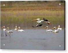 The American White Pelicans Acrylic Print by Ernie Echols