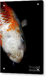 The Ancient One . Koi Fish . 7d5486 Acrylic Print by Wingsdomain Art and Photography