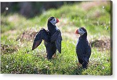 The Angel Puffin Acrylic Print