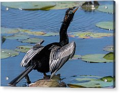 Acrylic Print featuring the photograph The Bird, Anhinga by Cindy Lark Hartman