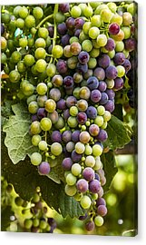The Art Of Wine Grapes Acrylic Print by Teri Virbickis