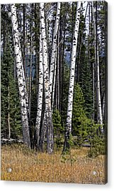 Acrylic Print featuring the photograph The Aspens by John Gilbert
