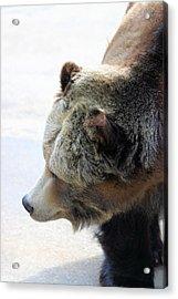 The Bear Acrylic Print by Karol Livote