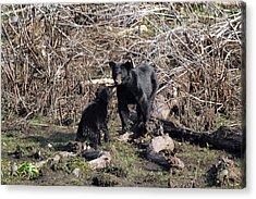 The Bears IIi Acrylic Print