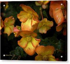 The Beautiful Begonia Acrylic Print