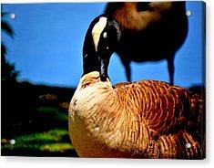 The Beautiful Duck Acrylic Print by Robert Scauzillo