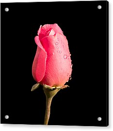 The Beauty Of A Rose Acrylic Print