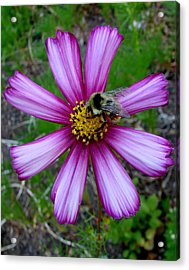 The Bee And A Pink Cosmos Acrylic Print by Ed Mosier