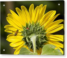 The Bee Lady Bug And Sunflower Acrylic Print