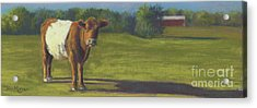 The Belted Cow Acrylic Print by Terri  Meyer