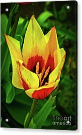 Acrylic Print featuring the photograph The Bicolor Tulip by Robert Bales