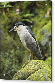 The Black Crowned Night Heron Acrylic Print by Phil Stone