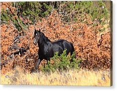 The Black Stallion Acrylic Print by Rod Giffels