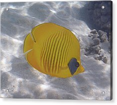 The Bluecheeked Butterflyfish Red Sea Acrylic Print