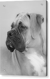 The Boxer Dog - The Gentleman Amongst Dogs Acrylic Print by Christine Till