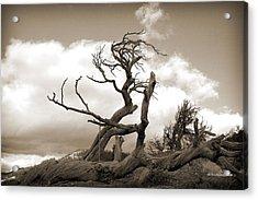 The Burmis Tree Acrylic Print