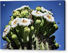 Acrylic Print featuring the photograph The Busy Little Bees On The Saguaro Blossoms  by Saija Lehtonen