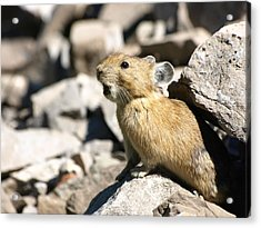The Call Of The Pika Acrylic Print