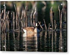 The Canada Goose Acrylic Print