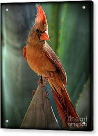 The Cardinal  Acrylic Print by Saija  Lehtonen