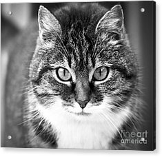 The Cat Stare Down Acrylic Print